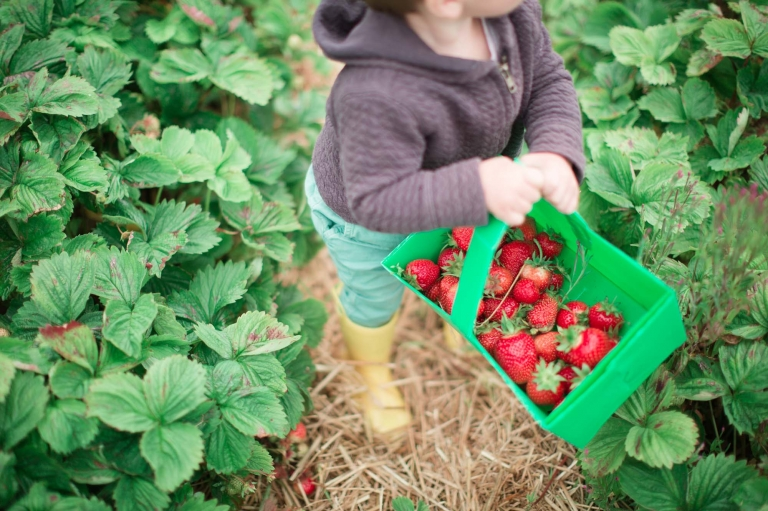 Aberdeenshire child portrait of a little boy strawberry picking